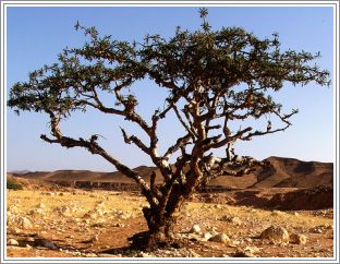 Frankincense (Sacra), Sacred Essential Oil