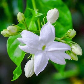 Jasmine Fragrance Oil 1 oz.