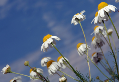 Chamomile Essential Oil, Roman