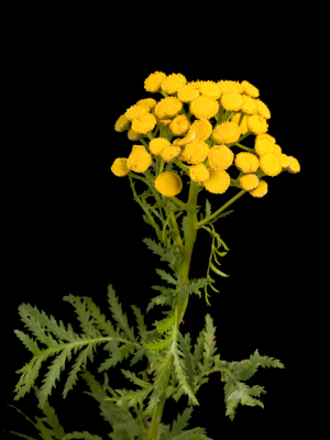 Tansy, Idaho Essential Oil