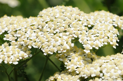Yarrow Green Essential Oil