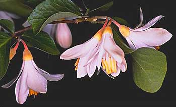 Benzoin (Styrax) or (Onycha) Essential Oil