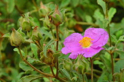 Cistus Essential Oil, Rose of Sharon