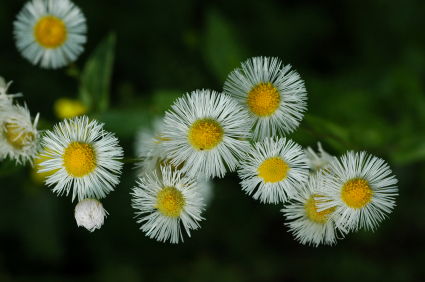 Erigeron Essential Oil WC