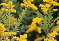 Goldenrod Essential Oil