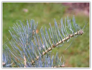 White Fir, Silver Needle Essential Oil
