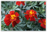 Tagetes Organic Essential Oil